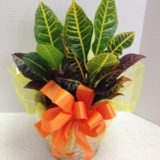 croton with orange