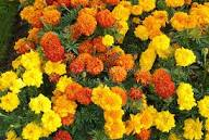 October marigolds